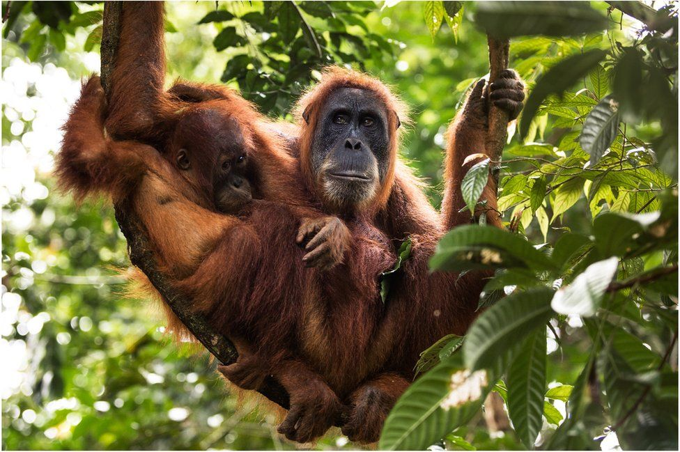 Saving the orangutans of Sumatra